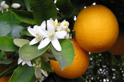 Orangina - Lacto-Fermented Orange Juice Recipe