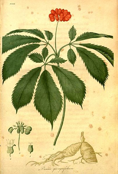 Adaptogens: Herbs for Vitality – American Ginseng