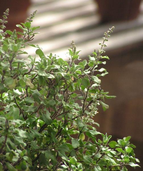 Adaptogens: Herbs for Vitality – Holy Basil